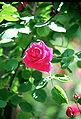 Rosa 'Dr Andry'.jpg