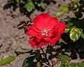 Rosa 'Isabel Renaissance' (d.j.b) 01.jpg