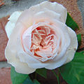 Rosa 'Souvenir de la Malmaison' 1.jpg