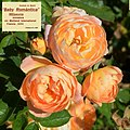 "Rosa ""Baby Romántica"" o MEIpaonia. 02.jpg"