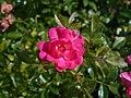 Rosa Lovely Fairy 2018-07-15 6149.jpg