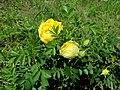 Rosa Persian Yellow 2019-06-03 4575.jpg