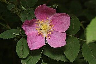 Rosa acicularis - Image: Rosa acicularis 8448