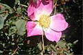 Rosa glauca inflorescence (20).jpg