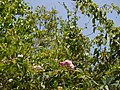 Rosa multiflora Thunb. (32411142123).jpg