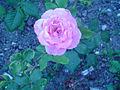 Rosas da UL (8).JPG