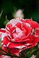 Rose, Orange Splash - Flickr - nekonomania (8).jpg