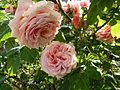 Rose 'Paul Bocuse' in Jardin des Plantes of Paris 03.jpg