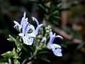 Rosmarinus officinalis3.jpg