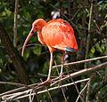 Roter Sichler Eudocimus ruber Tierpark Hellabrunn-9.jpg