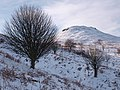Rowan trees on the slopes of Roseberry Topping - geograph.org.uk - 1151380.jpg