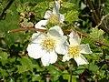RubusDeliciosus1UME.jpg