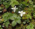 Rubus pedatus (Mount Kisokoma).JPG