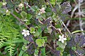 Rubus ursinus thorn.jpg