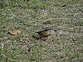 Rufous-Breasted Accentor - Prunella strophiata - DSC00107.jpg