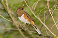 Rufous-sided towhee.jpg
