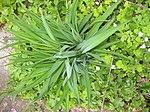 Ruhland, Grenzstr. 3, Gelbe Taglilie, Blattbüschel, Frühling, 02.jpg