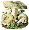 Russula-virescens-gramberg-1913-pilzederheimatei00gram 0063.jpg