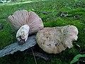 Russula eccentrica 347239.jpg