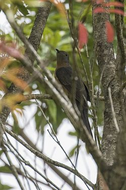 Rusty-breasted Cuckoo - Gunung Gede - West Java MG 3616 (29836207235).jpg