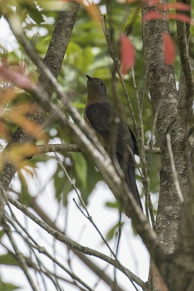 Picha:Rusty-breasted Cuckoo - Gunung Gede - West Java MG 3616 (29836207235).jpg