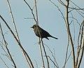 Rusty Blackbird, Casnovia Sewage Ponds, September 18, 2012 (8003206637).jpg