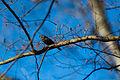 Rusty blackbird (24375442633).jpg