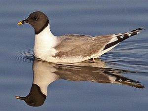 Edward Sabine - Sabine's Gull