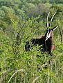 Sable (Hippotragus niger) - Flickr - berniedup.jpg