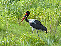 Saddle-billed Stork (Epphippiorhynchus senegalensis) male (13781886763).jpg