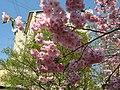 Saint Petersburg. Chinese Garden. Sakura tree2021 17.jpg