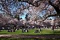 Sakura @ University of Washington, Seattle (6909859504).jpg