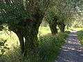 Salix alba pollards2.JPG