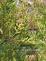 Salix exigua Wierzba 2016-05-02 02.jpg
