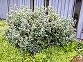 Salix lanata general view.JPG
