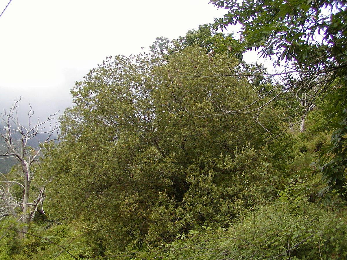 salix dating Salix sachalinensis 'sx61 ' photo by kimberly cameron photo by benjamin ballard photo by kimberly cameron botanical name: salix sachalinensis 'sx61' (family.