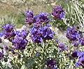 Salvia dorrii var dorrii 2.jpg
