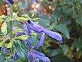 Salvia mexicana 'Limelight'2.jpg