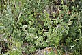 Salvia sp. 3438.jpg