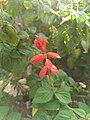 Salvia splendens-scarlet sage, tropical sage 2.jpg