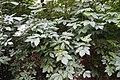 Sambucus nigra 135268952.jpg