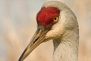 Adult Sandhill Crane, Grus c. canadensis. I we...