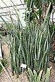 Sansevieria fischeri - Botanischer Garten - Heidelberg, Germany - DSC01345.jpg