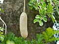 Sausage Tree (Kigelia africana) fruit (11493304814).jpg
