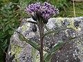 Saussurea alpina T77.2.jpg