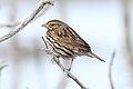 Savannah Sparrow (Passerculus sandwichensis beldingi) (13853493885).jpg