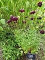 Scabiosa atropurpurea 'Sweet scabious' (Dipsacaceae) plant.JPG
