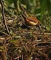 Scaly breasted munia Juvenile Lonchura punctulata at Najafgarh drain Bird Sanctuary DSCN9366 1.jpg