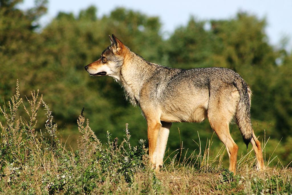 Vlk dravý (lat. Canis lupus)