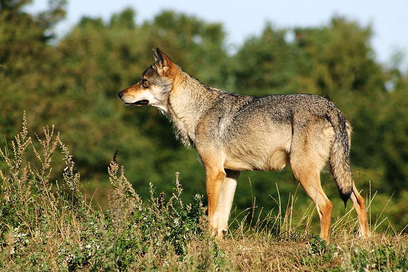 Datei:Scandinavian grey wolf Canis lupus.jpg